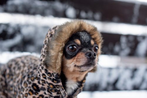 small dog jacket cold in the winter. Chihuahua in winter clothes on a background of snow. Chihuahua. Dog on a walk in the winter. A lot of snow and a dog. Eco fur coat for dogs. Black brown white dog