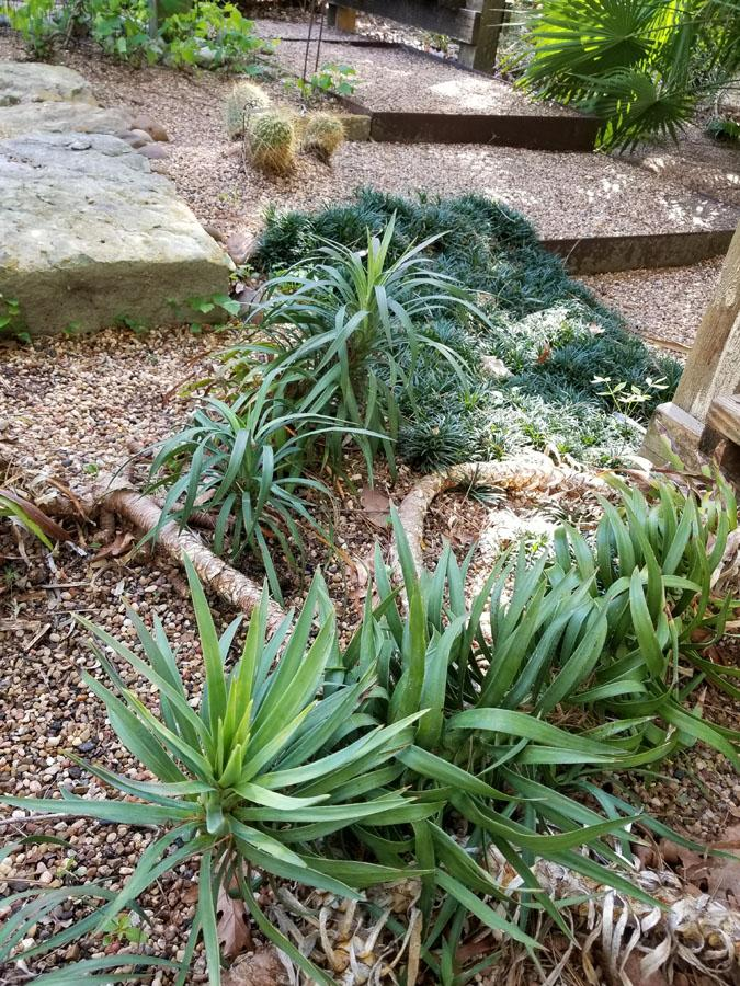 Yucca desmetiana  may want to creep along the ground when the stems get too long_ or they can be staked up.