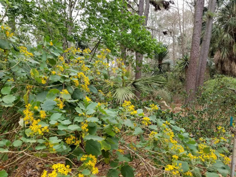 We are pleased to offer Senecio aschenbornianus for all who have lusted over it.