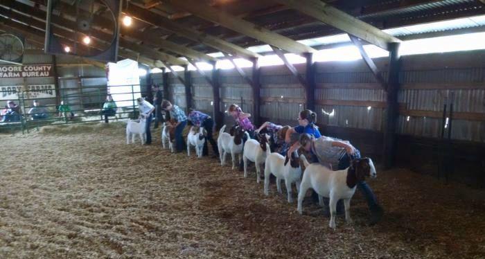 Participants showing goats at a 4-H show