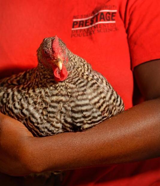 Hen in child's arm
