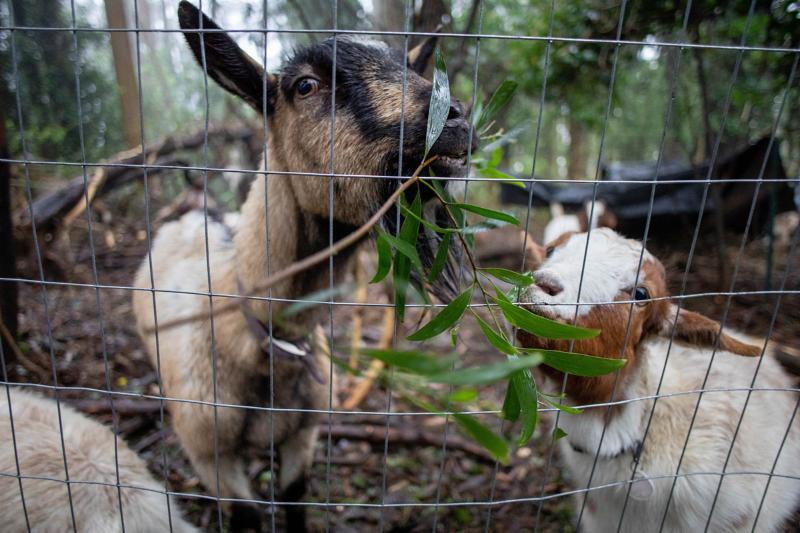 Goats nibble undergrowth on Mount Sutro