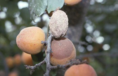 Brown rot apricot fruit mummy. photo by WW. Coates, UC Cooperative Extension
