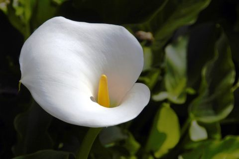 Calla - U. Minnesota Extension
