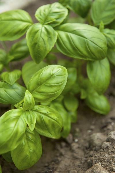 Basil-photo from University of Illinois Extension website