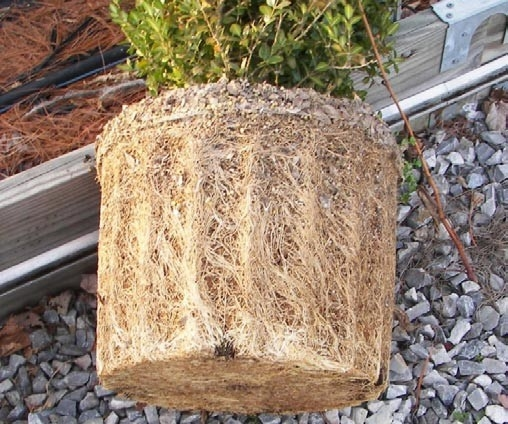 Root bound plant ball on container grown plant