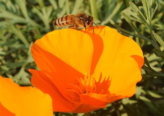 Honey bee walking along a petal of a California poppy - Photo by Kathy Keatley Garvey