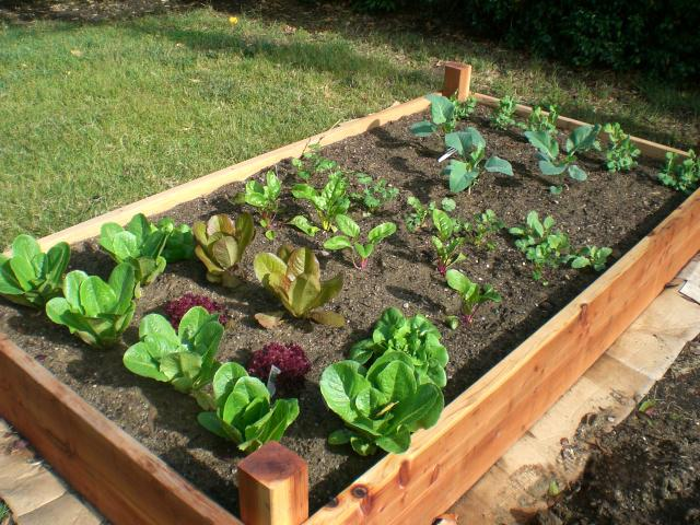 Vegetables transplanted into a raised bed
