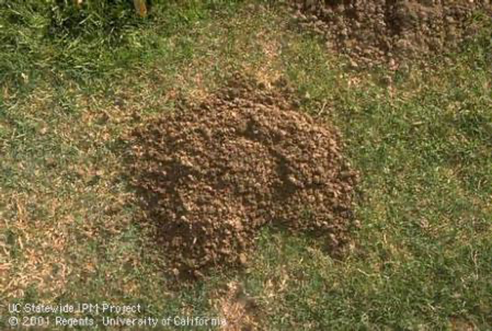 Characteristic crescent-shaped mound and plugged burrow opening of a pocket gopher - by Jack Kelly Clark