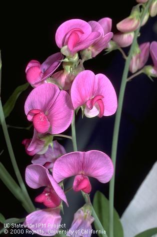 Sweet Pea- Lathyrus odoratus - photo by Jack Kelly Clark