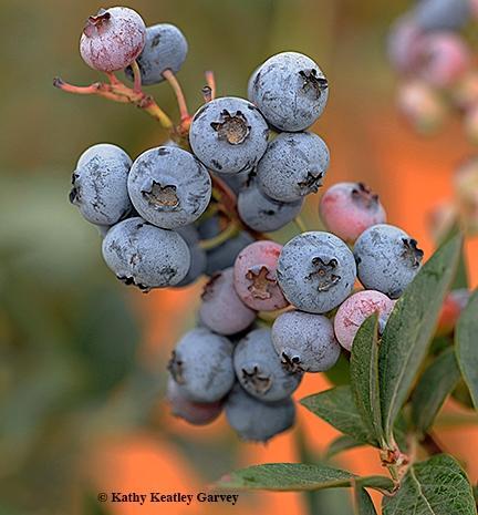 Blueberries UC Bug Squad photo by Kathy Keatley Garvey