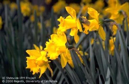 King Albert Trumpet Daffodil Photo by Jack Kelly Clark