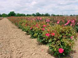 UC Davis 8 acre rose testing garden