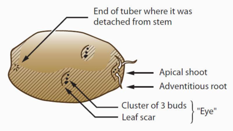 White potato tuber from CA Master Gardener Handbook 2nd Edition