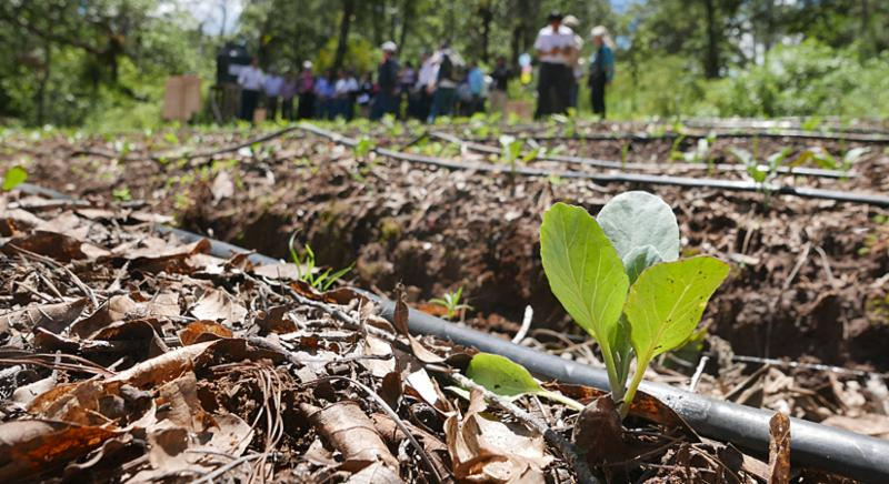 Vegetable seedling freshly planted among mulch and drip irrigation. Photo by Britta Hansen