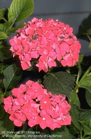 Bigleaf hydrangea pink blossoms by Jack Kelly Clark. UC ANR Repository