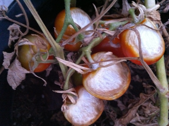 Sunscald on tomatoes