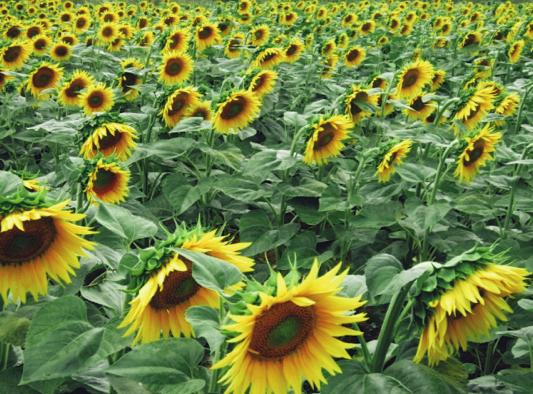 Sunflowers by Laura Monczynski