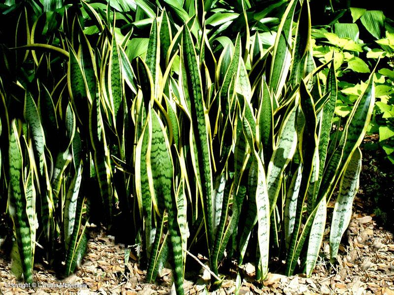 Sansevieria aka Mother-In-Laws Tongue - Photo by Cynthia McKinney