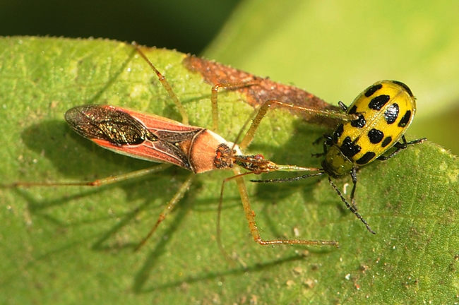 Assassin bug attack on cucumber beetle