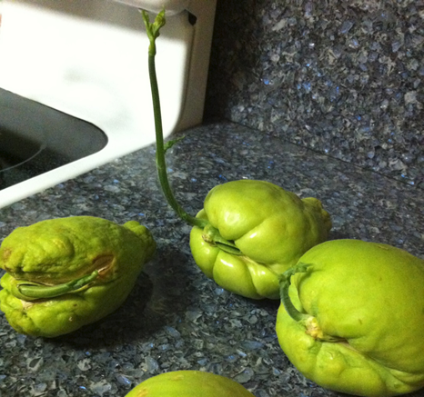 Sprouting Chayote - by Laura Monczynski