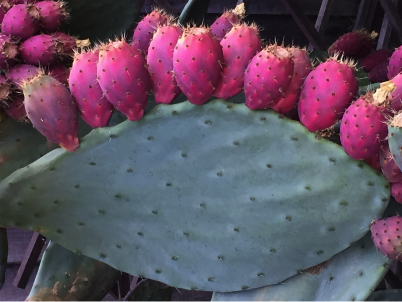 Prickly pear cactus by Laura Monczynski