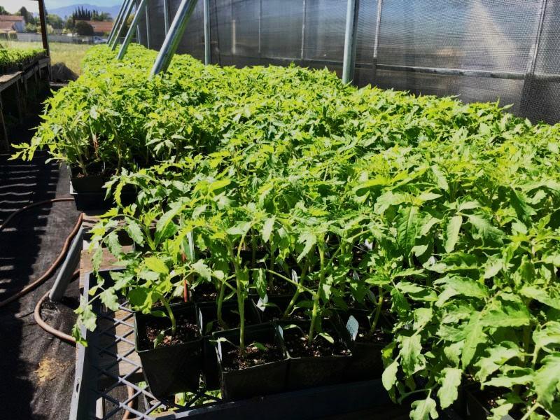 Tomato seedlings adjusted