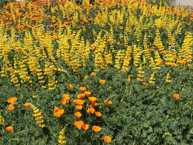 Yellow lupine and California poppies at Martial Cottle Park