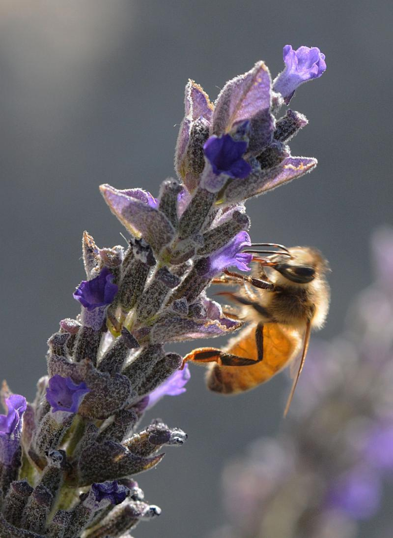 Honey bee on lavender UC ANR Kathy Keatley Garvey