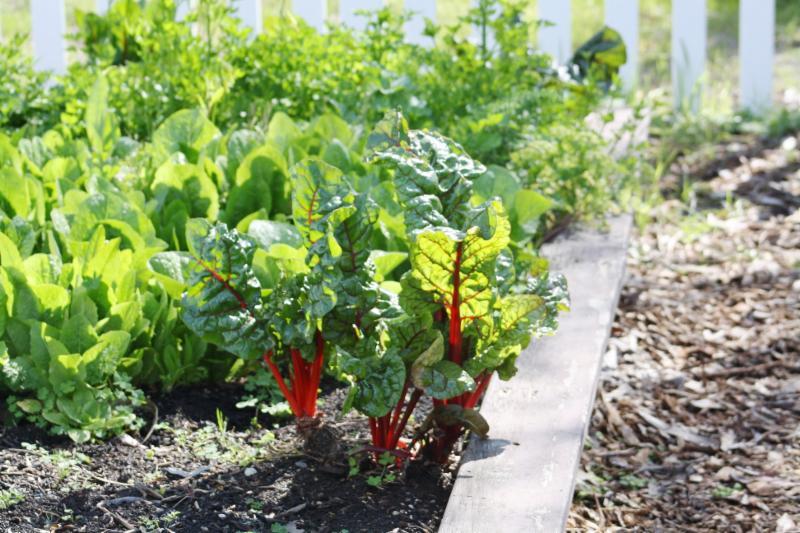 Cool season greens by Jennifer Baumbach UCCE Master Gardener Coordinator Solano County