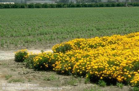 Strong-smelling marigolds can benefit nearby plants by repelling pests Photo by Jack Kelly Clark