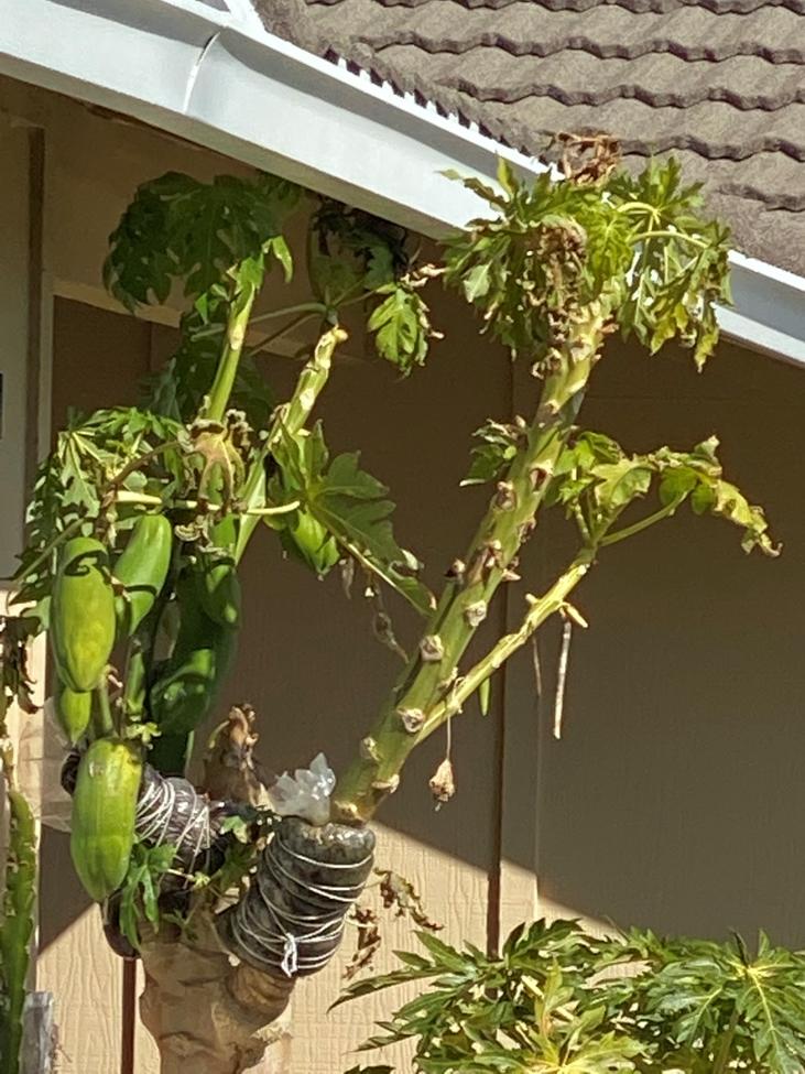 Papaya in west San Jose - Laura Monczynski