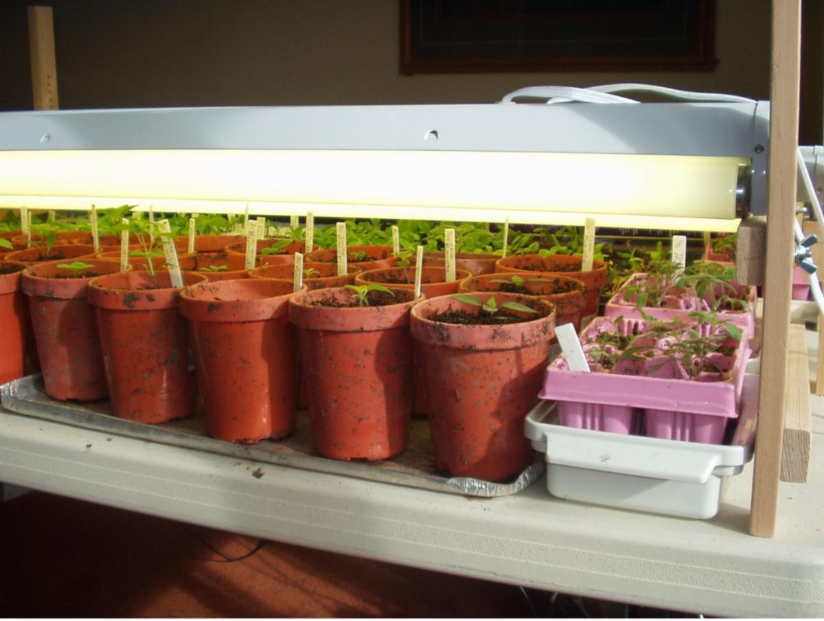Seedlings under fluorescent lights Photo by Laura Monczynski