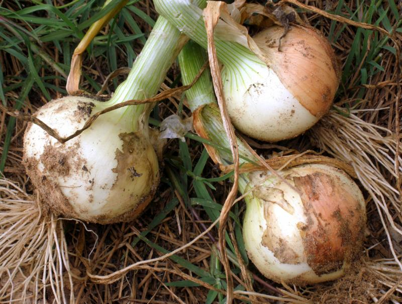 Yellow onions - MorgueFile Free Photo