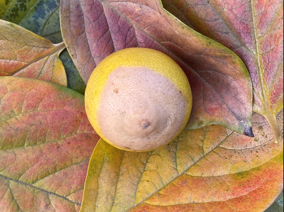 Stylar End Breakdown on a Bearss Lime - by Laura Monczynski