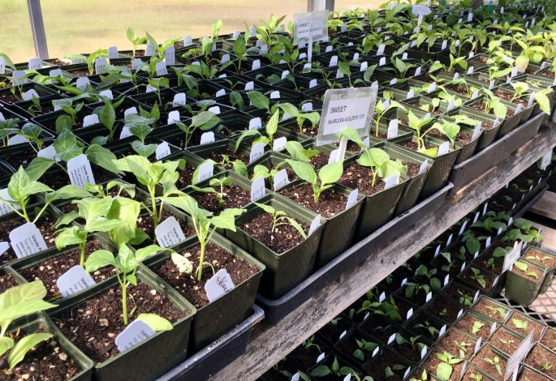 Pepper seedlings being grown for Spring Aren Market (Allen Buchinski)