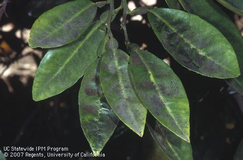 Sooty mold on  leaves of citrus infested with scale, UC, David Rosen