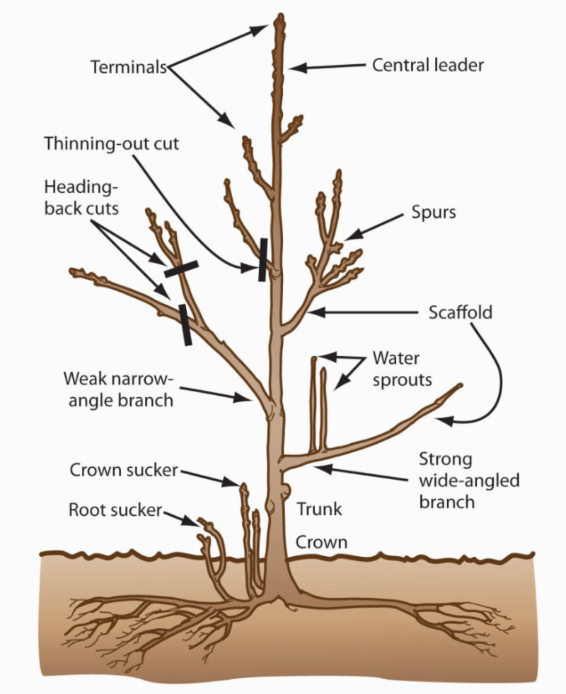 Fruit tree framework terms