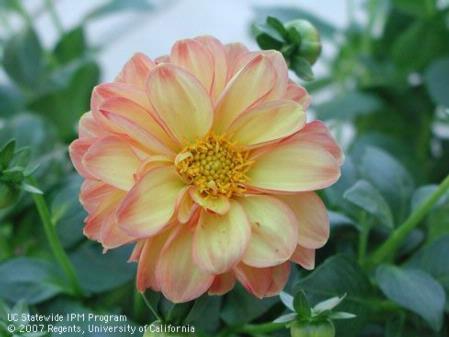 Dahlia blossom UC photo by Cheryl A. Reynolds