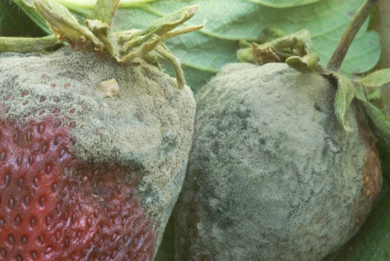 Advanced gray mold of strawberry fruit. Photo by Steven Koike UCCE