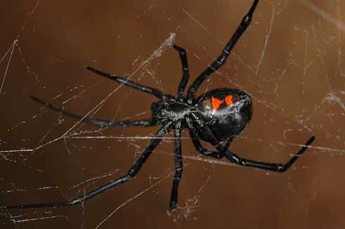Mature female western black widow spider - Latrodectus Hesperus Photo by Rick S Vetter