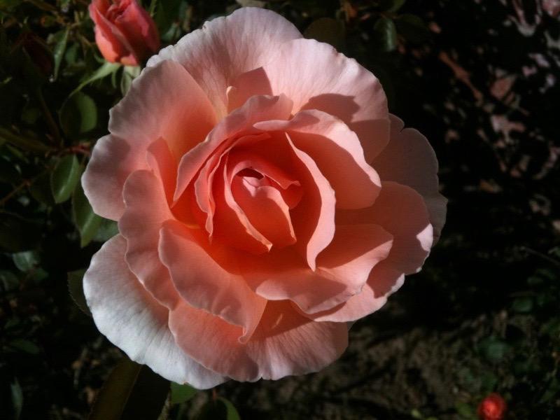 Tamora English rose