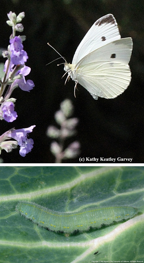 Cabbage butterfly and larva From UC sources
