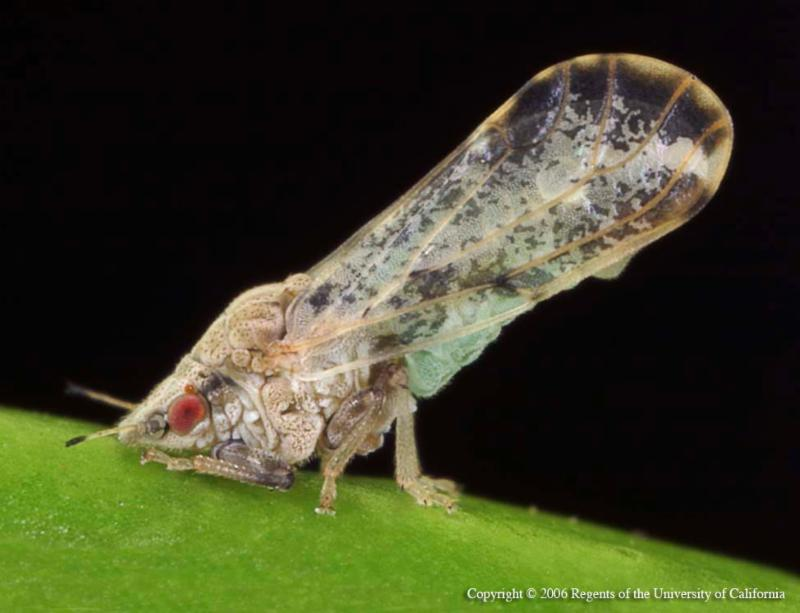Asian citrus psyllid feeding on brandy from UC ANR Repository by E.M. Rogers