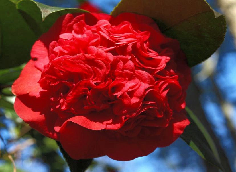 Camellia Japonica - by Barbara H Smith
