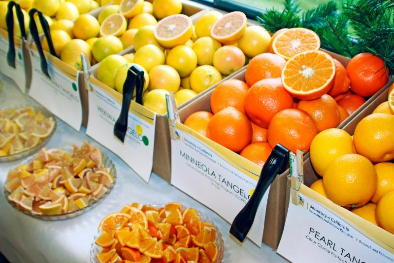 Citrus Fruit Display and Tasting Event by Event Kilmartin from UC ANR Repository