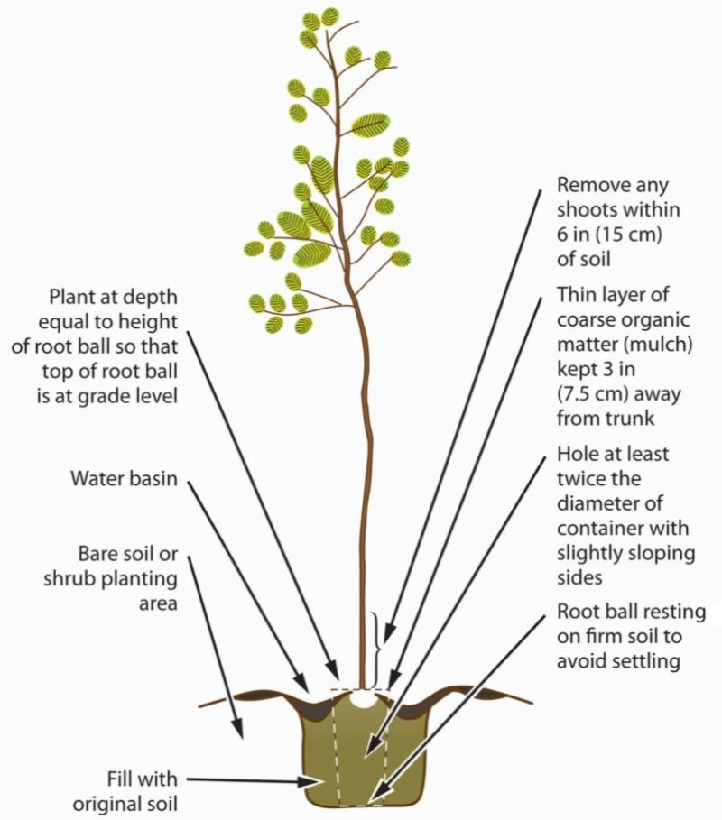 Tree planting illustration from UC Master Gardeners Handbook V2