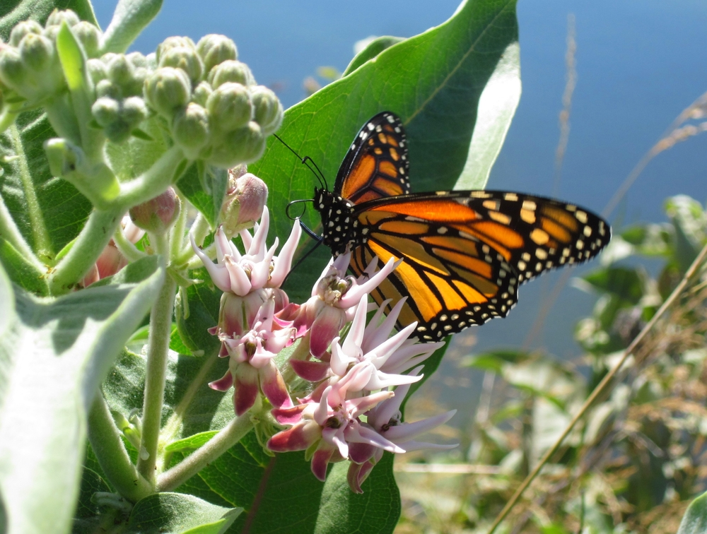 A monarch butterfly on a showy milkweed plant USFWS Image