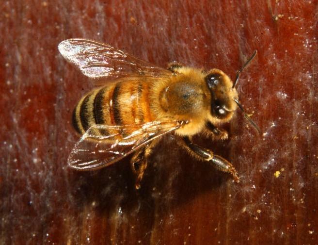 Golden bee-UC ANR Repository-Kathy Keatley Garvey