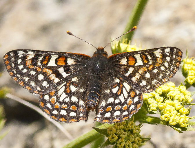 Bay Area Checkerspot butterfly from Calphotos website by Bill Stagnaro with Creative Commons 3.0 License